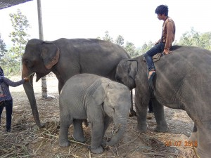 baby opt 300x225 Mahout training in northern Thailand