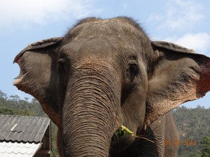 ears opt 300x225 Mahout training in northern Thailand