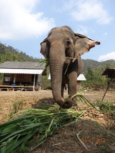 eat opt 225x300 Mahout training in northern Thailand