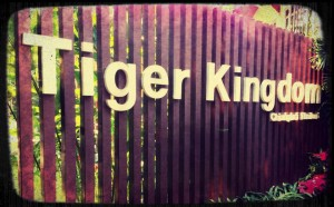 kingdom 300x186 Dont mess with sleeping tigers